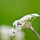 Ladybug Emerging by Vicki Field