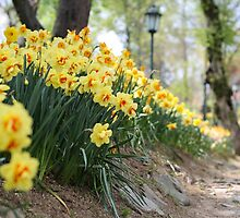Daffodils in Spring by SuzannemorriS
