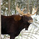 Moose by vette