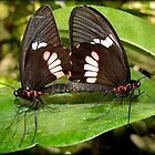 True Cattleheart Butterflies Breeding (South America) by Kimberly Chadwick