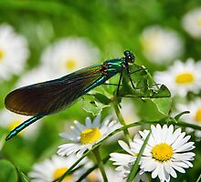 Iridescent Damselfly ~ Banded Demoiselle by Susie Peek