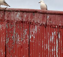Seagull standing on old corrugated iron shed roof by MHen