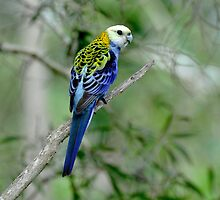 Pale Headed Rosella taken at the Boondall Wetlands by Alwyn Simple