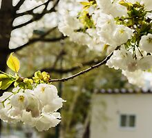 White Cherry Blossoms - The flower of happiness by OrchidSGN