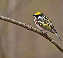 Chestnut Sided Warbler by Michael Cummings