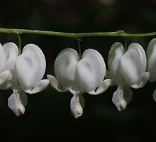 White Bleeding Hearts by Sheryl Hopkins