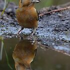 Common Crossbill ( Loxia curvirostra Linnaeus) by Peter Wiggerman