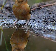 Common Crossbill ( Loxia curvirostra Linnaeus) by Peter Wiggerman