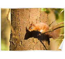 European Red Squirrel Poster