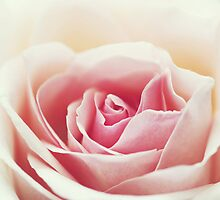 Apricot Rose by NicoleCampbell