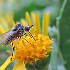 Fly drinking nectar on yellow daisy by Lee Jones