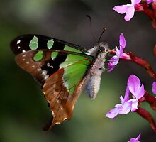 Macleay's swallow tail -   Mnt Baw Baw Oz by john  Lenagan