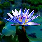 Water lily - blue by KarenEaton