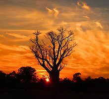 Tranquil Sunset Boab - Panorama by kimberleylife