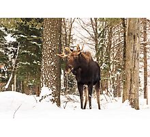 Bull moose in a winter landscape Photographic Print