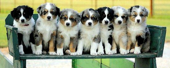 Australian Shepherd Puppies Watercolor by Oldetimemercan