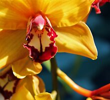 Yellow Orchid in bloom by Alison Hindenlang