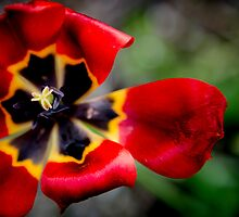Red Tulip After the Rain by frameworkimages