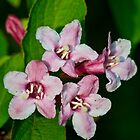 Weigela Hortensis by Colin Metcalf