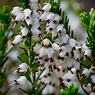 White Heather by Colin Metcalf