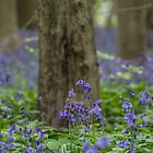 Bluebells in the Woods by Pixie Copley LRPS