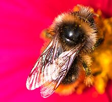 Bee on a pink flower by thommoore