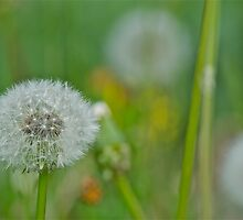 Dandelion 5 by Carolyn Clark