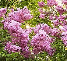 Lilacs at the George Eastman House by Lisa Cook