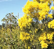Wattle in country victoria by Lost61