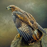 Buzzard Calling by Tarrby