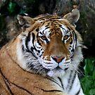 Tiger's portrait  by annalisa bianchetti