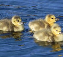 Gosling Chicks by Martha Medford