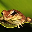 Stony Creek Frog - ( Litoria lesueuri  )Female  - Clifton Beach FNQ by john  Lenagan