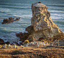 Muriwai Gannets by Ian Rushton