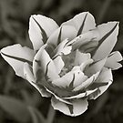Tulip in Black and White by goddarb