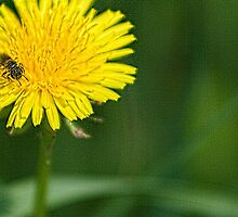 Bee and Dandelion by Roger Passman