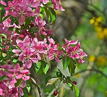 Pink Crabapple 5 by Carolyn Clark