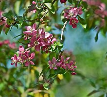 Pink Crabapple 7 by Carolyn Clark