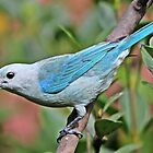 Blue Tanager by hummingbirds