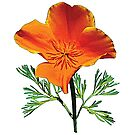 Orange California Poppy by Susan Savad