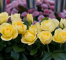 Yellow roses at RHS Chelsea Flower Show by Keith Larby
