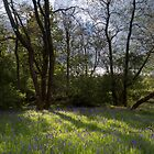 Bluebell Woods by Ian Mac