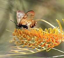 Glasswing butterfly - ( Acraea andromacha ) on Grevillea - Atherton Tableland by john  Lenagan