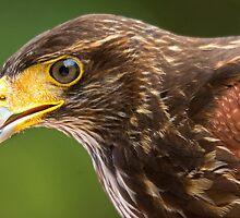 Harris Hawk Up Close by imagetj