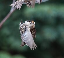 Airborne squabble by Jan Timmons