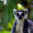 Lemur Look by Matt Sibthorpe