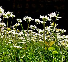 Down with the Daisies by mikebov