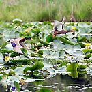 Lily Pad Lift Off by TeresaB