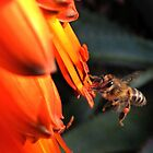 Cape Honeybee pollinating Aloe - contact by Lee Jones