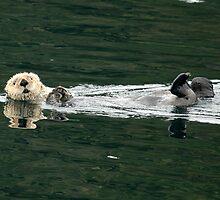 Sea Otter On It's Back - Alaska, United States by jcimagery